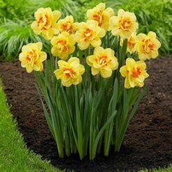 Daffodils Tahiti