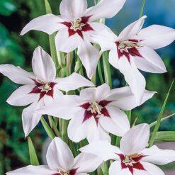 Fragrant Gladiolus