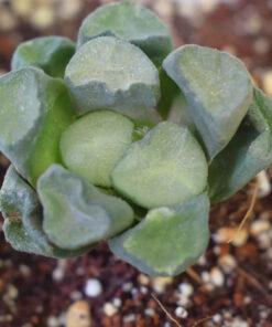 Haworthia truncata maughanii