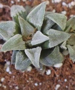 Haworthia Pygmea