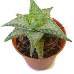 Aloe Tarrington
