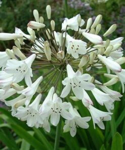 Agapanthus Bulb