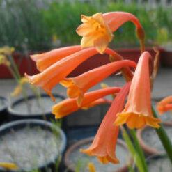 Cyrtanthus Bulb