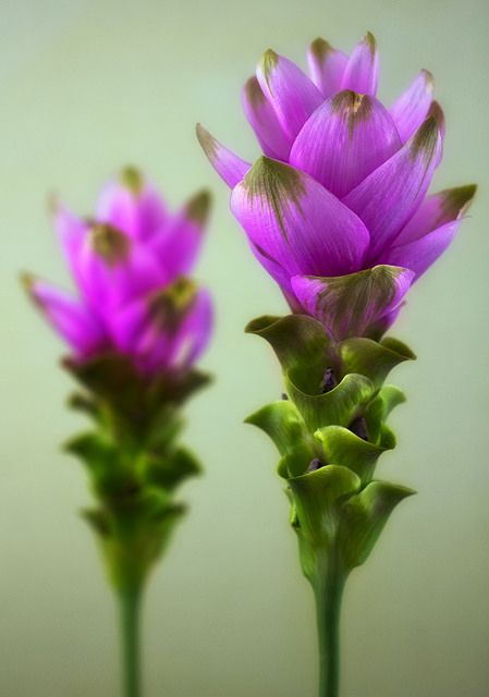 Curcuma Bulb purple