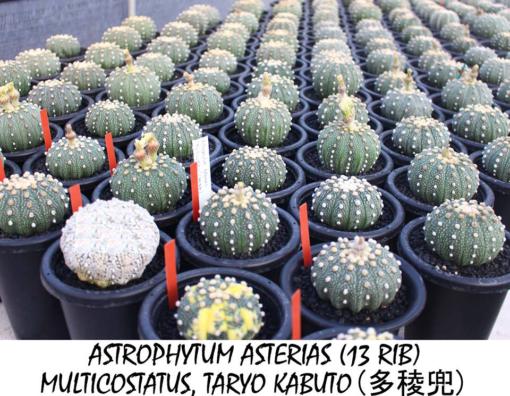 Astrophytum Taryo Kabuto