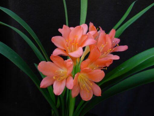 Clivia Rhizome