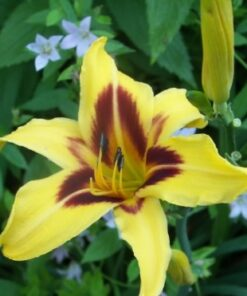 day lily bicolor