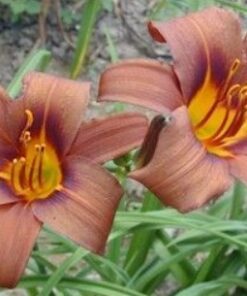 day lily chocolate
