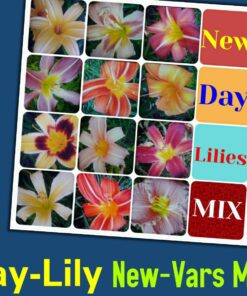 Day lily mix