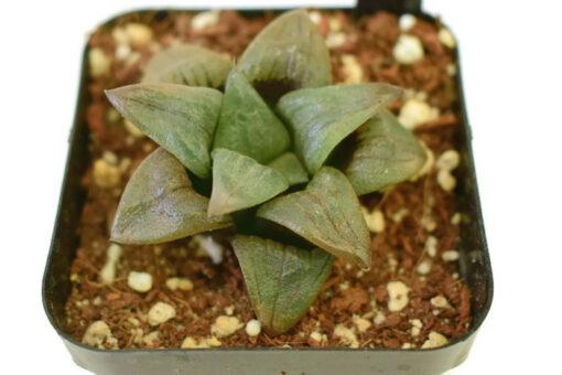 Haworthia magnifica v. atrofusca