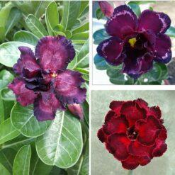 adenium plant 109