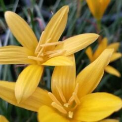 Rain lily flawissima