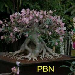 Adenium Arabicum PBN