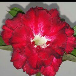 adenium plant r39