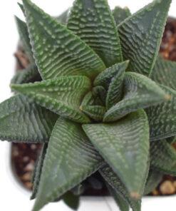 Haworthia limifolia Hybrid