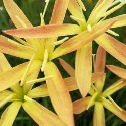 Rain lily zan andonio