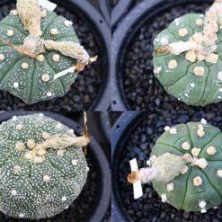 Astrophytum asterias kikko