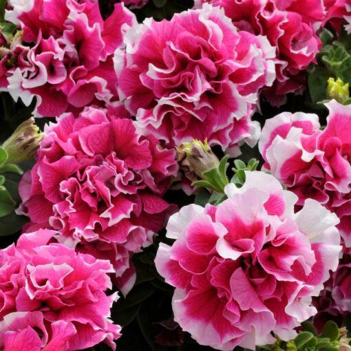 Petunia Pirouette rose