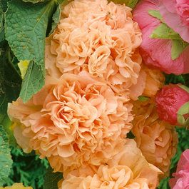 Hollyhock Double Apricot