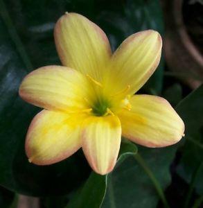 Rain lily King Ransom