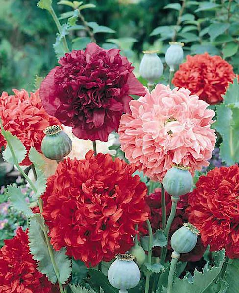 Poppy peony Flowered