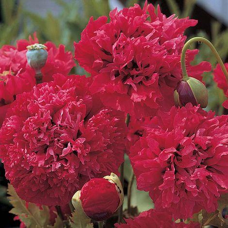 Poppy Red Pom poms