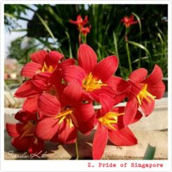 Rain lily pride of Singapore