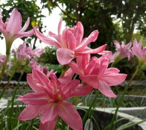 Rain Lily Double Lotus
