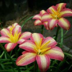 Rain Lily Small Hybrid
