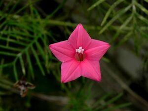 Cypress vine Pink