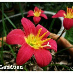 Rain Lily Red lamduan