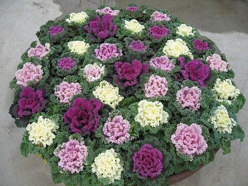 Ornamental kale Kanome
