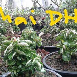Adenium Thai DHA