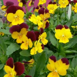 viola rebelina red and yellow