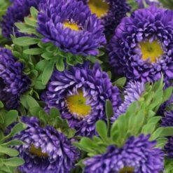 aster kurenai purple