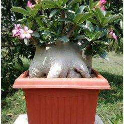 Adenium Desert Night Fork