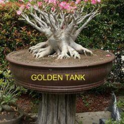 Adenium Golden Tank