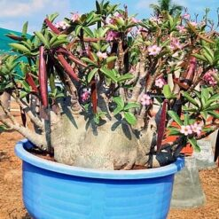 adenium Indian Rhino