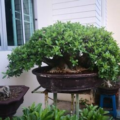 Adenium Mother of Apinya