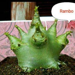 Adenium Rambo