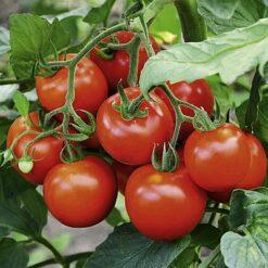 Tomato F1 hybrid