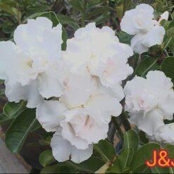adenium white