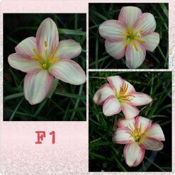 Rain Lily F1
