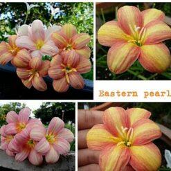 Rain Lily Eastern Pearl