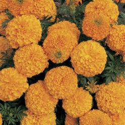 Marigold Inca Orange