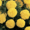 Marigold Inca Yellow