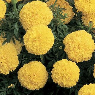 Marigold Inca Yellow