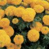 Marigold Inca Gold
