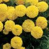 Marigold Inca Primrose
