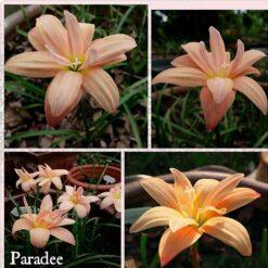 Rain Lily Paradee